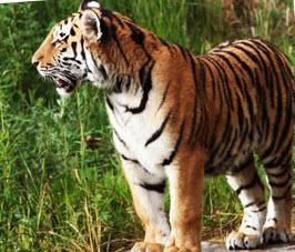 Sibirisk tiger på Borås djurpark