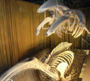 Naturhistoriska museet - dinosaurie