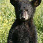 En ung amerikansk svartbjörn